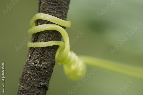 young cucumber tendril wrap around at dry branch in front of blur background
