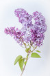 Lilac in Full Bloom