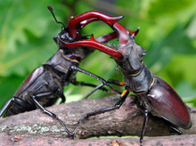 Stag Beetles. Duel Of Two Male...
