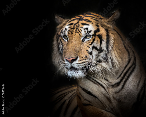 Foto op Aluminium Tijger Sumatran tiger male on a black background.