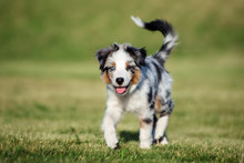 Australian Shepherd Puppy Walk...