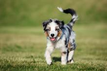 Australian Shepherd Puppy Walking Outdoors