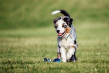 Miniature Australian Shepherd Puppy Walking Outdoors