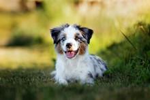 Miniature Australian Shepherd Puppy Outdoors In Summer
