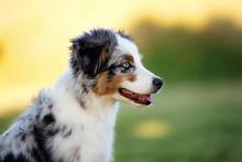 Australian Shepherd Puppy Posing Outdoors