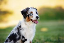 Mini Australian Shepherd Puppy Posing Outdoors