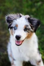 Mini Aussie Puppy Portrait Outdoors