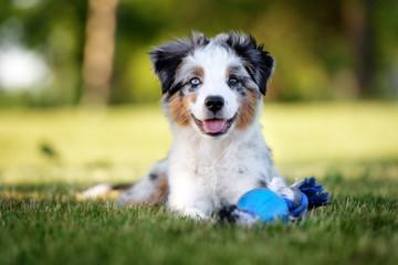 happy mini australian shepherd puppy lying down outdoors