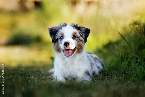 Photo miniature australian shepherd puppy outdoors in summer