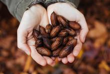 Harvesting Pecan Nuts