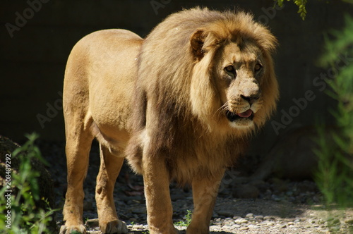 Lion on a sunny afternoon at the reserve in South Africe Poster