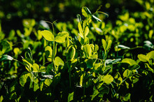 Fresh Young Green Pea Plants I...