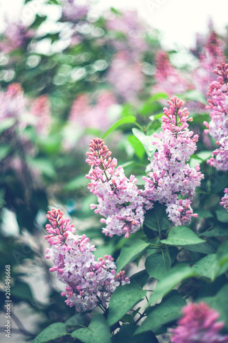 Foto op Canvas Lilac Beautiful purple lilac flowers outdoors