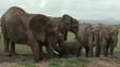 African Elephants (Loxodonta africana) spraying water from a ditch on body , Amboseli N.P. Kenya.