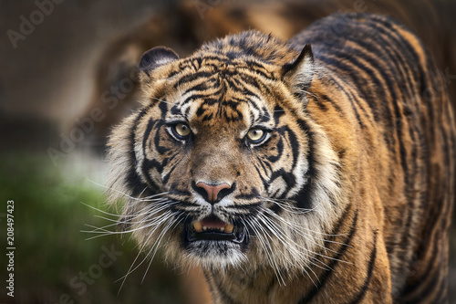 Foto op Plexiglas Tijger Tiger front view staring and looking straight ahead