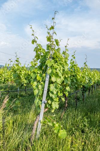 Fotografia  Weinanbau im Frühjahr