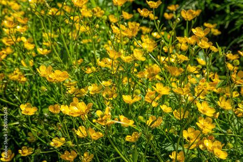 Ranunculus acris - meadow buttercup, tall buttercup, common buttercup, giant buttercup Canvas Print