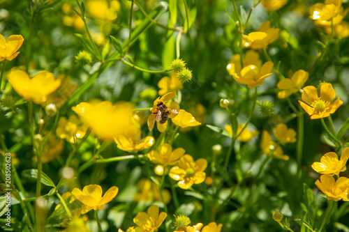 Ranunculus acris - meadow buttercup, tall buttercup, common buttercup, giant buttercup Wallpaper Mural