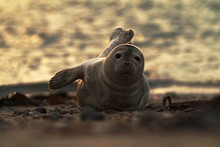 Seal Lying On The Beach In Dune, Helgoland In Germany, Seal In Last Light Of The Day, Sunset On The Beach, Young Seal On The Beach, Seal Pup, Cute Baby Animal On The Beach