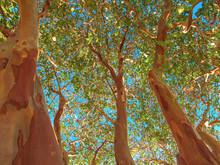 Crape Myrtle Trees (type Natch...