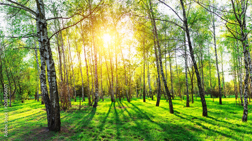 Birch trees in forest at sunset. Beautiful nature landscape panorama.