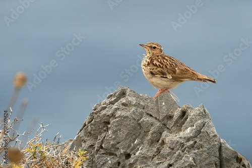 Photo Wood Lark (Lullula arborea) perched on a rock with blue sea in a backround
