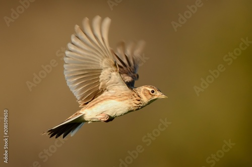 Sky Lark (Alauda arvensis) flying over the field with brown backgrond Fototapeta