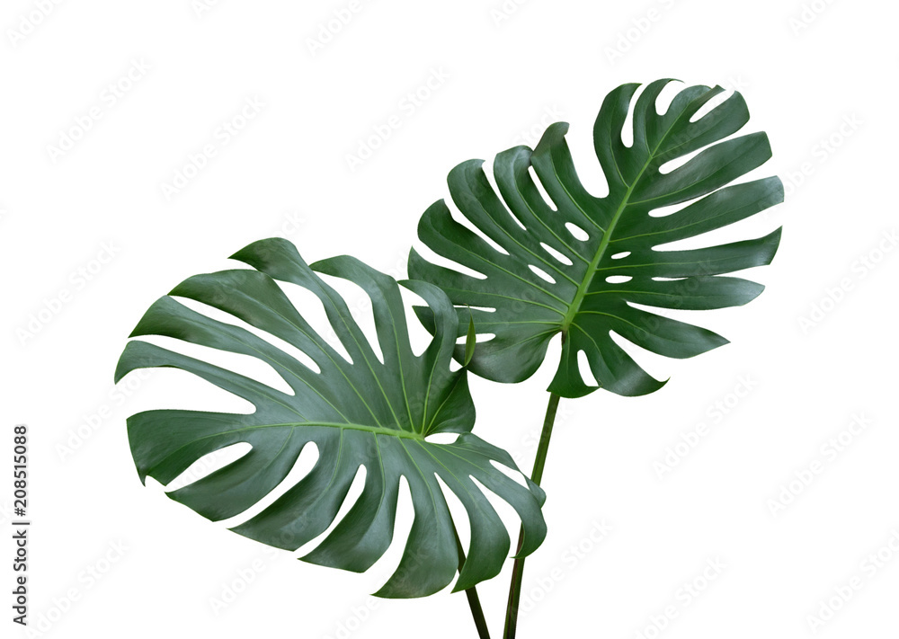 Fototapety, obrazy: Monstera plant leaves, the tropical evergreen vine isolated on white background, clipping path included