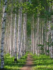 Fototapeta Brzoza Russian birches, birch grove
