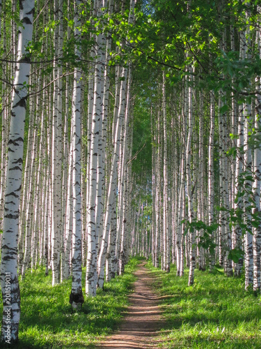 Russian birches, birch grove