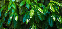 Nature Concept With Cherry Laurel