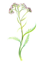 Drawing. Yarrow With Pink Flow...