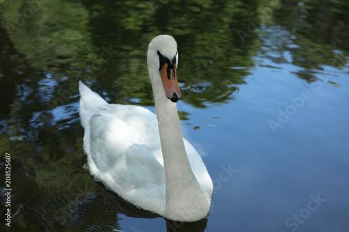 In de dag Zwaan Mute swan, Cygnus olor, elegantly swimming in a lake