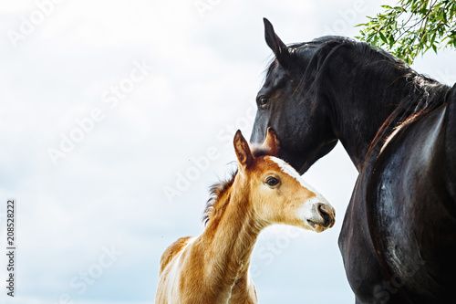Stampa su Tela Horse mare taking care of its foal
