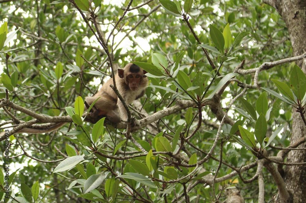 Fotografie, Obraz monkey island, vietnam, can gio