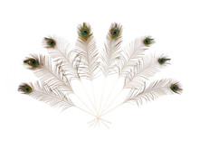 Eight Peacock Feathers In A Fan On A White Background