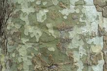 Arrière Plan Nature - écorce De Platane Texture En Gros Plan