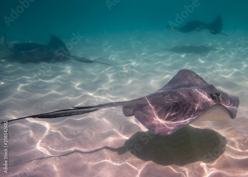 Graceful Stingrays in the Ocean near the Cayman Islands Poster