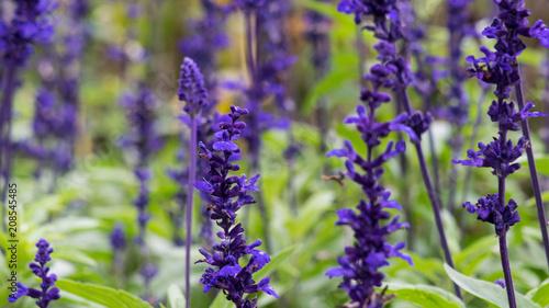 Photo  Lavender field, close up of lavdender violet stem.