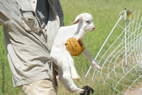 Fotografie, Tablou Goatherd carrying newborn baby goat kid left behind when moving herd from one pa