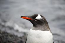 Gentoo Penguin Portrait Close-...