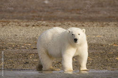 Papiers peints Ours Blanc Polar bear portrait standing on land in the Arctic staring (Urus maritimus)
