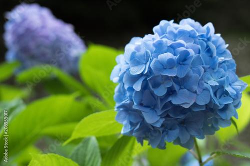 Fotobehang Hydrangea Beautiful blue hydrangea flowers