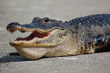 American Alligator Portrait Sh...