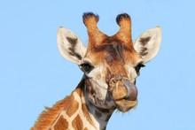 Giraffe With Long Purple Tongue