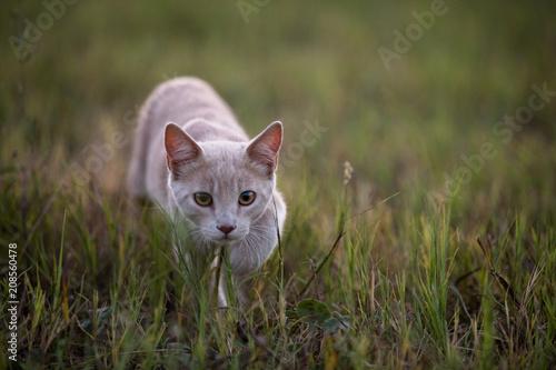 Young orange shorthair tabby cat stalking in grass Obraz na płótnie