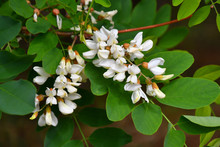 White Flowers Of Acacia