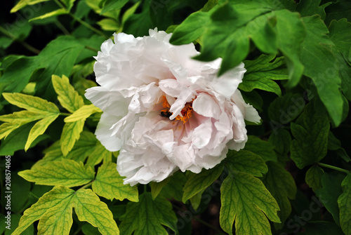 Fotografie, Obraz  White peony  flower with bee on yellow pistil and stamen close up detail, soft g