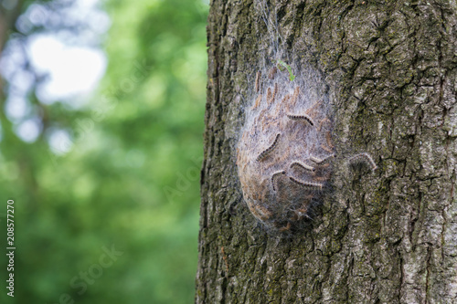 Fotomural Procession caterpillar nest on the treen trunk of an oak tree