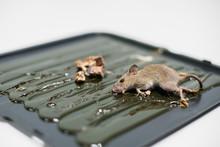 Mice Trapped On Kill Mice,dead...